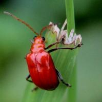 Rose-Colored Beetle