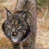St Andrews Lynx's Photo